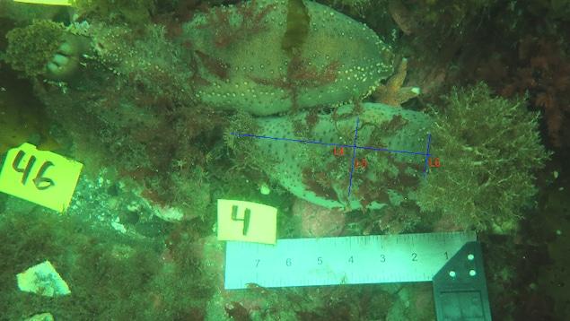 Mesure des concombres de mer à partir de photo dans leur habitat naturel