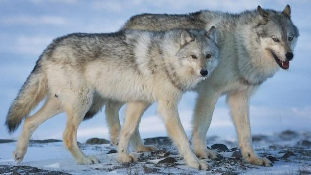 Deux loups, un mâle et une femelle, côte à côte