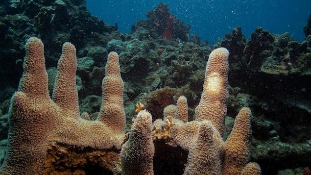 Des coraux (Dendrogyra cylindricus) dans l'océan près des Îles Vierges américaines.