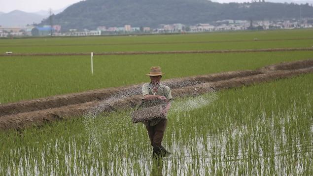 Un fermier épand de l'engrais dans une rizière à Sariwon, en Corée du Nord, le 13 juin 2018.