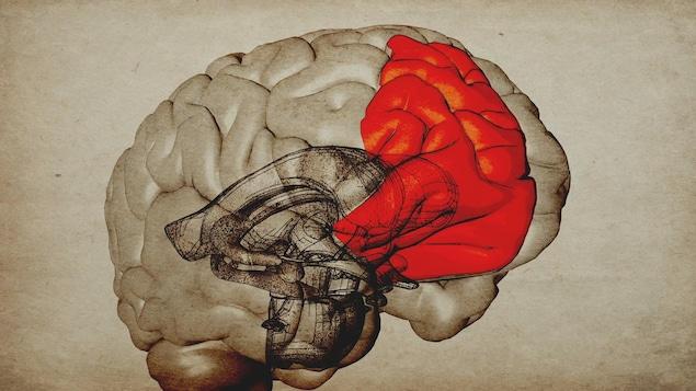 Infographie du cortex préfrontal droit du cerveau.