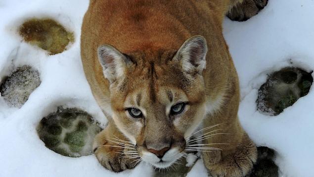 On voit un cougar en plongée, en gros plan. Il fixe la caméra.