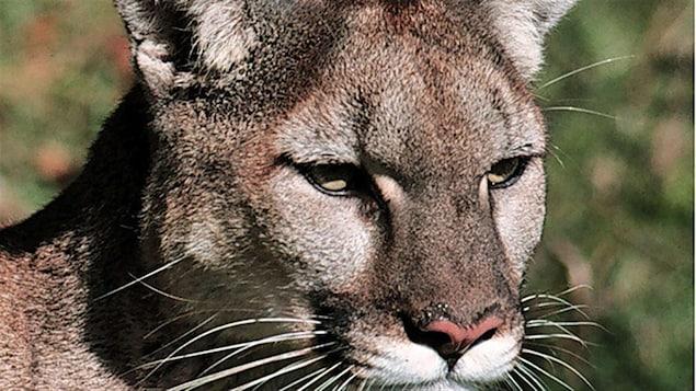 Un gros plan sur la tête d'un cougar