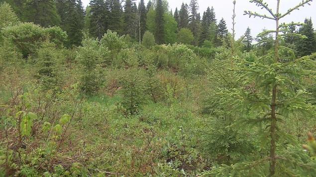 On voit une jeune forêt d'épinettes qui repousse. En arrière-plan, la forêt mature qui n'a pas fait l'objet d'une coupe en 2008.