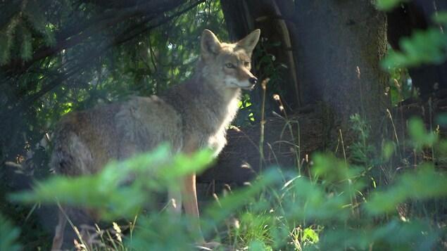 Un coyote en captivité