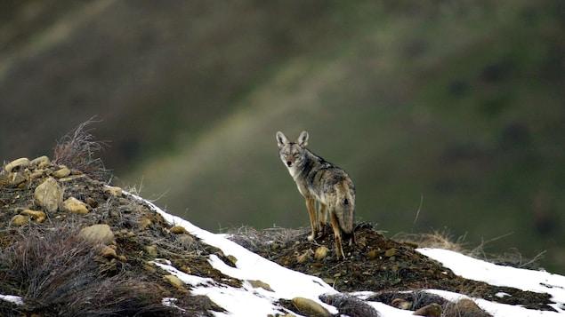 Un coyote surplombe une vallée, alors que quelques accumulations de neige sont visibles ici et là.