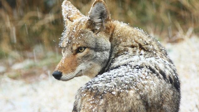 Un coyote sous la neige.