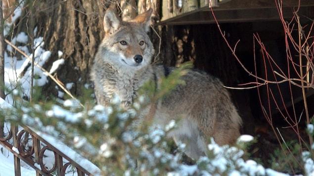Un coyote au travers du feuillage près d'un arbre.