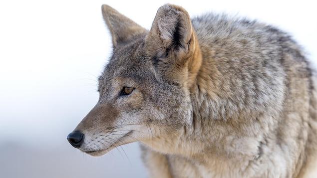 Plan rapproché d'un coyote au pelage fauve.