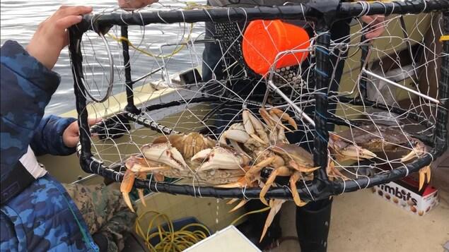 Un casier de pêche qui contient trois crabes Dungeness.