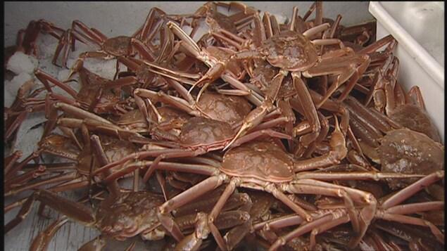 Des crabes des neiges dans un bac.