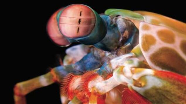 Les yeux extraordinaires de la crevette-mante sont capables d'une rotation indépendante dans les trois degrés de liberté, ce qui conduit à un comportement complexe de stabilisation du regard.