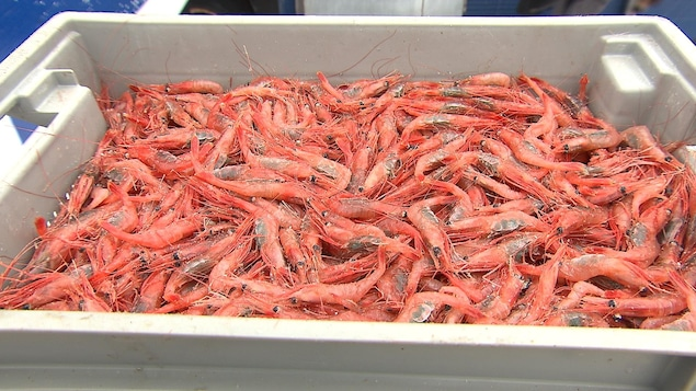 Des crevettes fraîches dans un bac de plastique au moment du débarquement.
