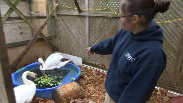Julia Evoy se trouve dans la volière en présence de deux cygnes malades.