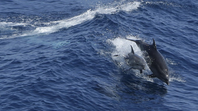 Deux dauphins sautent hors de l'eau au milieu de l'océan.