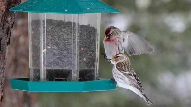 Deux oiseaux gris et rougeâtres se nourrissent dans une mangeoire.