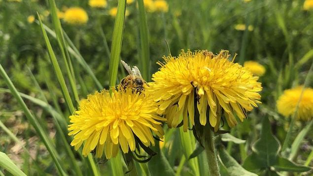 Une abeille butine sur un pisselit.