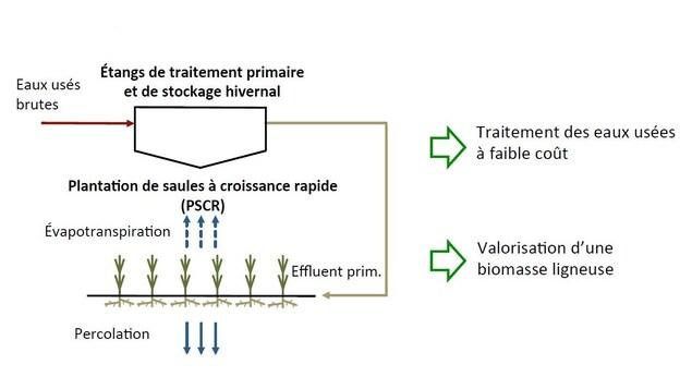 Schéma montrant le fonctionnement du système de traitement des eaux usées utilisant des saules.