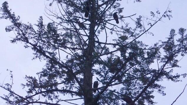 Près d'une dizaine de dindes sont perchées dans un grand arbre.