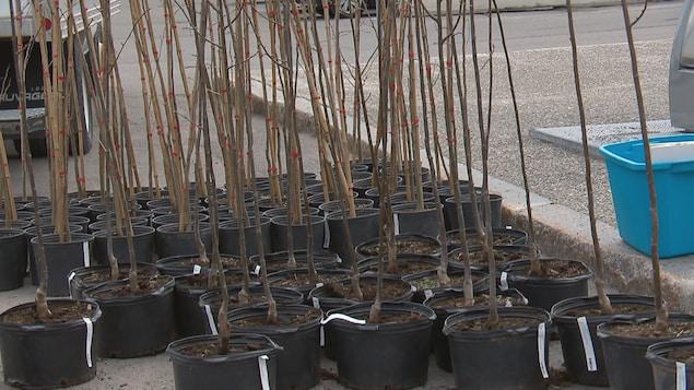 2000 arbres étaient distribués samedi par la Ville de Québec.