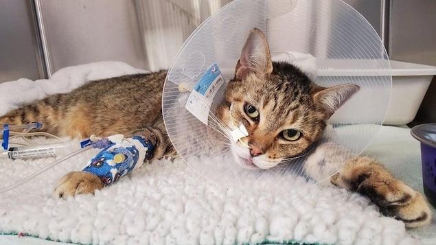 Le chat Dobby se remet d'une fracture à la mâchoire.