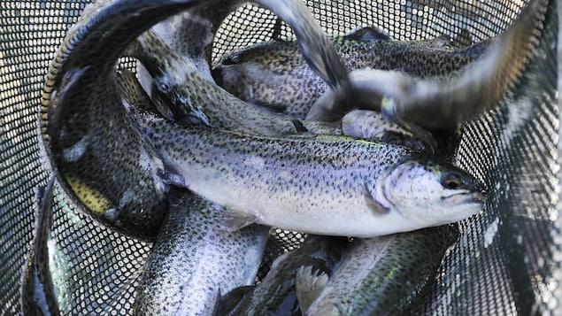 Des truites attrapées dans un filet de pêche