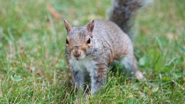 Un écureuil dans un parc de Montréal