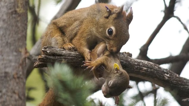Plan serré d'un écureuil roux adulte sur une branche d'arbre tenant un écureuil roux nouveau-né dans sa gueule.