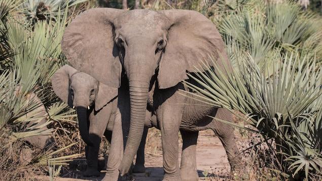 Une femelle éléphant et son bébé.