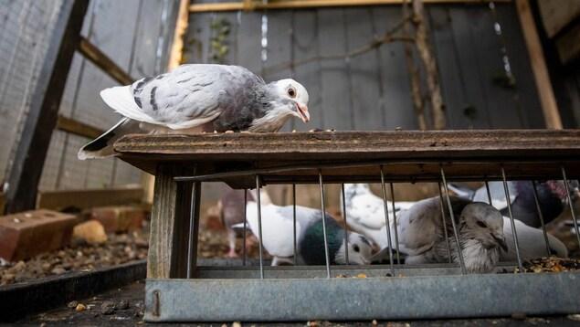 Des pigeons dans une petite cage, dans une cour arrière.