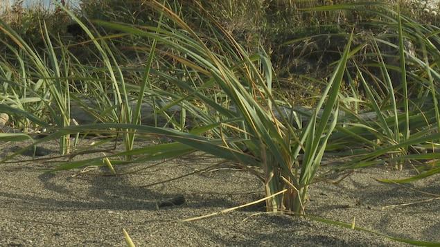 Plante indigène