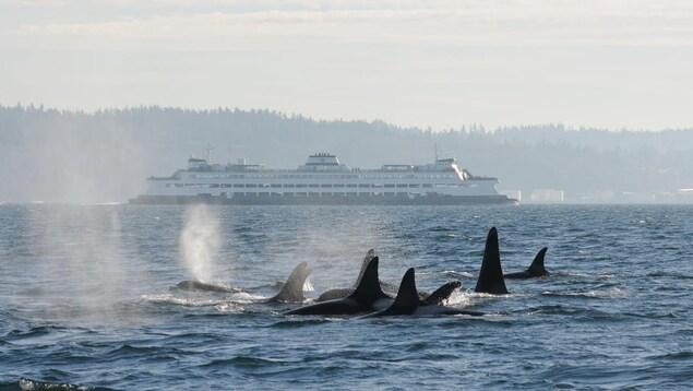 Des orques partagent les eaux avec un traversier de BC Ferries.