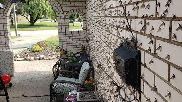 Le mur de la cour intérieure d'une résidence est couvert d'éphémères. Les insectes se retrouvent aussi sur des canapés et d'autres objets