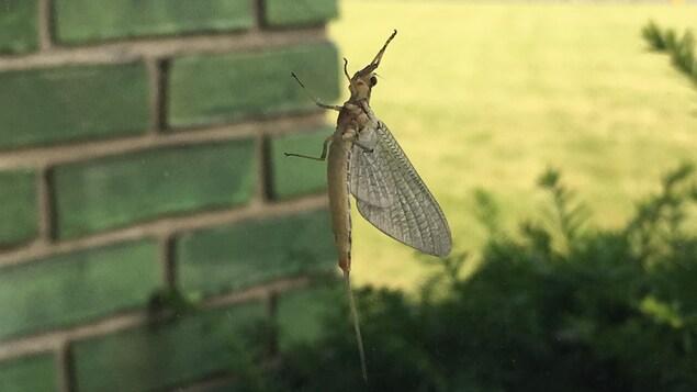 Un insecte avec de grandes ailes et des antennes vu à travers d'une fenêtre