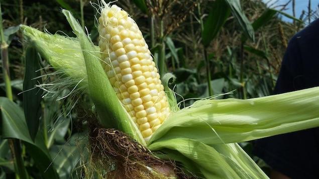 Maïs de Neuville dans un champ