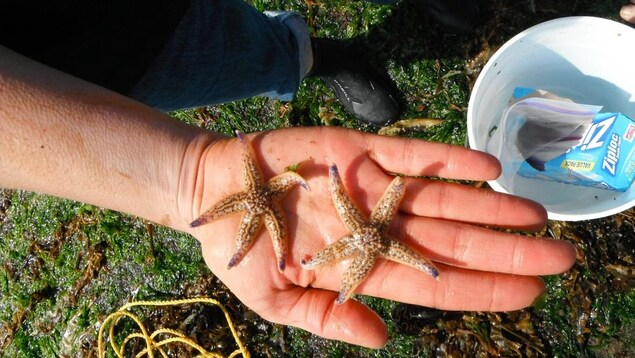 Deux étoiles de mer japonaises dans la main d'une personne