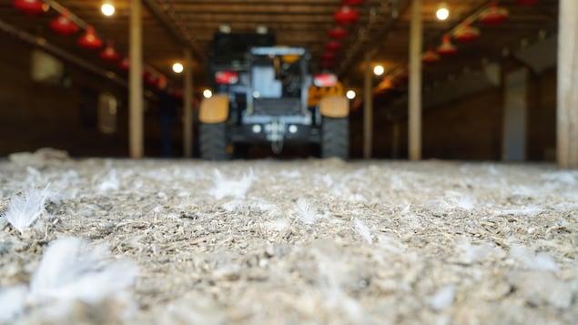 Des plumes de poulet jonchent le sol d'un bâtiment agricole à l'intérieur duquel est stationné un tracteur.