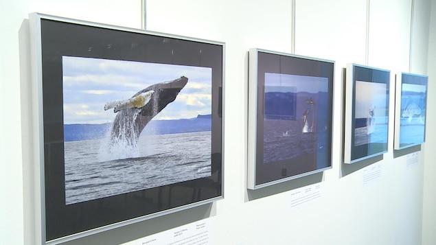 Des photos de baleines sont affichées dans des cadres sur un mur.