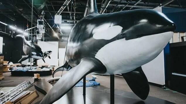 La reproduction d'une orque taille réelle dans un musée.