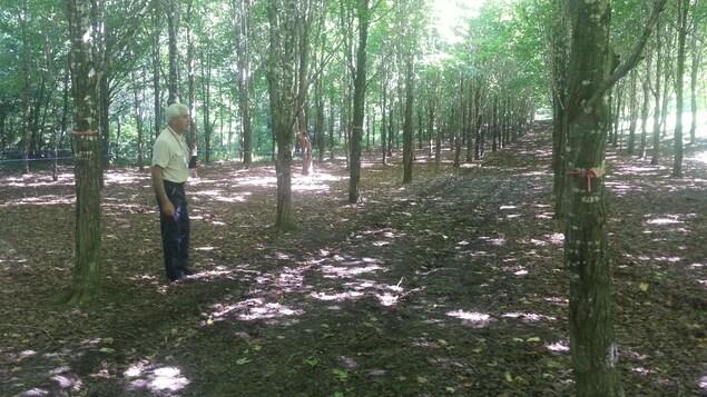 L'acériculteur Marcel Faucher marche en été dans sa plantation d'érables maintenant âgée de 25 ans. Sous le couvert des feuilles et muni de jumelles, il tend l'oreille aux chants des oiseaux.