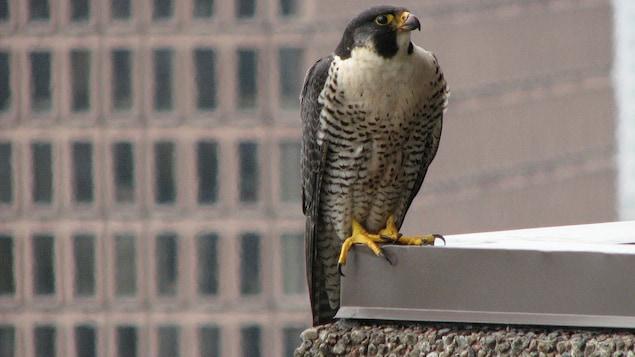 Un faucon pèlerin