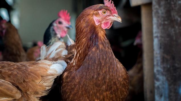 Deux poules, une brune, l'autre noire.