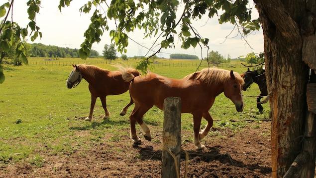 Les chevaux dans le pré