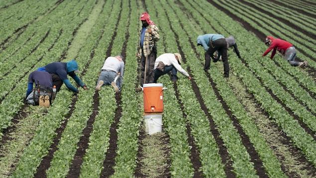 Des ouvriers travaillant dans un champs de légumes.