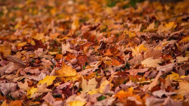 أوراق الشجر تغطّي الأرض.