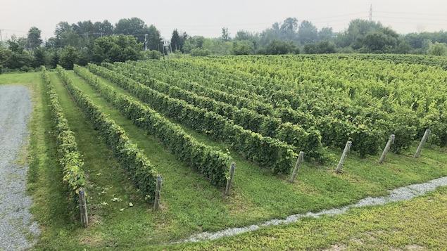 Un champ de vignes à Bécancour.