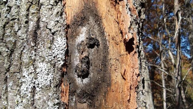 Un arbre dont l'écorce est échorchée montre une blessure sur son tronc de couleur noire, c'est un exemple de la maladie du flétrissement du chêne.