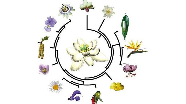 Arbre évolutif des plantes à fleurs