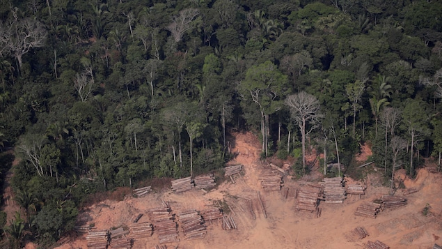 Troncs d'arbres coupés illégalement dans la forêt amazonienne près de Humaita dans l'État d'Amazonas, au Brésil, le 22 août 2019.