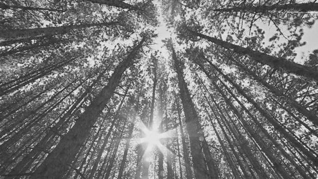 Des arbres vus en contre-plongée